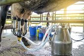 Worker use cow milking facility and mechanized milking equipment for produce raw milk to dairy plant poster