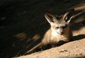 a bat-eared fox cub (otocyon megalotis) at zoo dvur kralove in eastern bohemia, czech republic. bat-eared foxes with enormous large ears habit in southern africa. poster