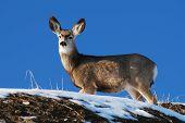 Utah Mule Deer standing on a hillside with blue sky and snow. poster