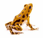 Poison dart or arrw frog from the island Bastimentos, Bocas del Toro, Panama. Tropical poisonous rain forest animal, Oophaga pumilio isolated on a white background. poster