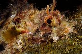 A tropical sculpin with poisonous spines rests atop a reef during a scuba dive poster
