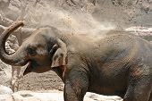 An Asian elephant using its trunk to fling dirt all over its back in an arid desert environment poster