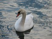 photo of a single swan on the lake poster