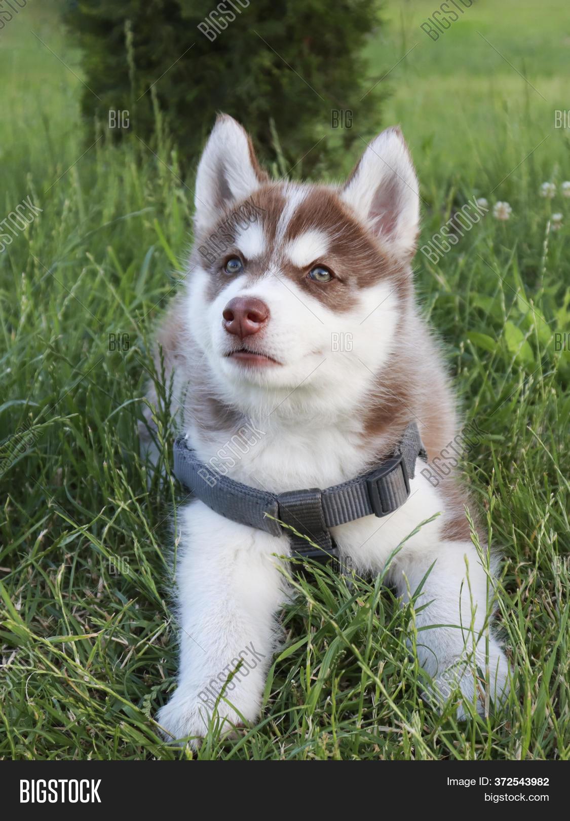 Cute Husky Puppy Plays Image Photo Free Trial Bigstock