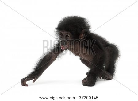 Baby bonobo, Pan paniscus, 4 months old, walking against white background