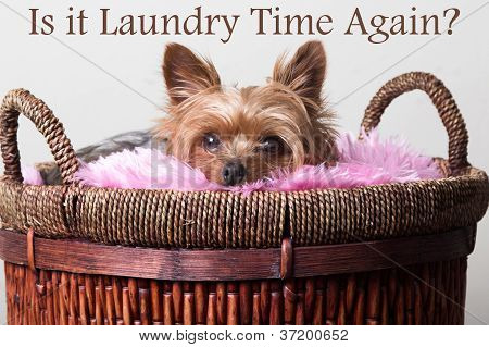 Young male yorkie dog laying in a basket of clothes poster