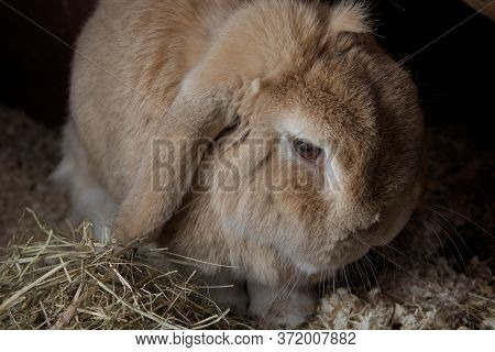 Pet Rabbit, Dwarf Netherlands Lop, Sits Amongst Sawdust And Hay. Appears Moody With A Dark Backgroun
