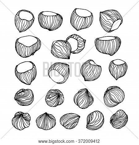 Set Of Peeled Hazelnut Kernels & Nuts In Shell, Element Of Decorative Ornament Or Pattern, Vector Il