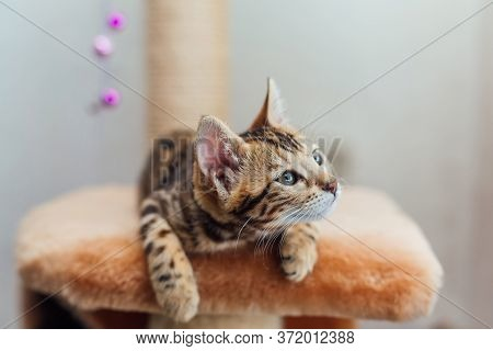 Young Cute Bengal Cat Laying On A Soft Cats Shelf.