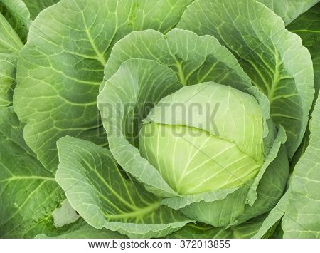 Close-up Of Fresh Ripe Cabbage On A Vegetable Bed. Cabbage Forks Growing In The Garden, Top View. Or