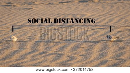 Keep The Social Distance, As The Piping Plover On The Sand, The Head Of Meadow Beach, Near-threatene