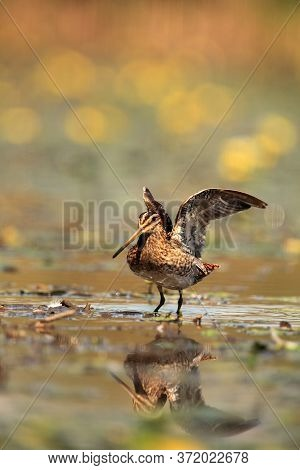 The Common Snipe (gallinago Gallinago) Walking Blossom Lagoon. A Common Snipe With I Stretches And W