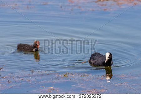 Eurasian Coot Chicks. The Eurasian Coot Or Fulica Atra, Also Known As The Common Coot Or Australian