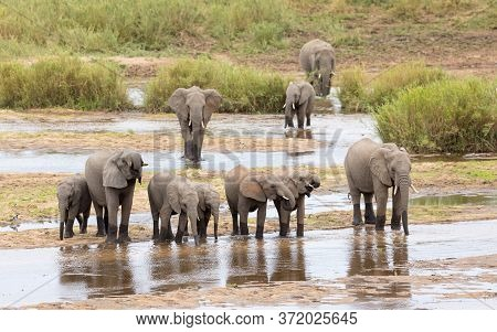 Elephant Herd Made Up Of Female Elephants And Juvenile Elephants Standing At The Edge Of Water Drink