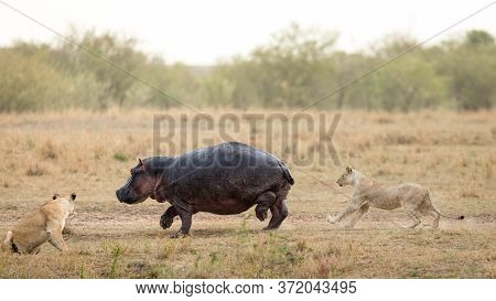 Two Lionesses Hunting Large Hippo In The Masai Mara Savannah In Kenya