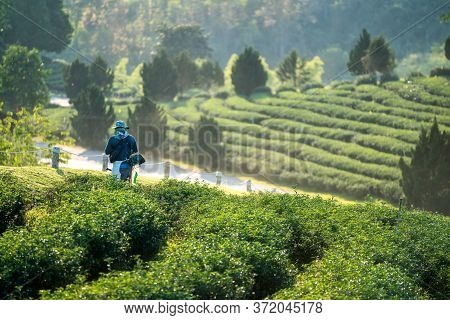 Agriculture Man In Camouflage Hat With Mowing Machine Working On Beautiful Green Tea Farm.organic Gr