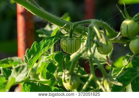 Green Tomatoes In The Garden. Growing Tomatoes In The Country. Tomatoes On The Branches Among The Le