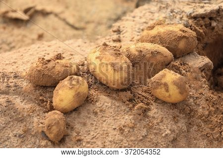 Freshly Harvested Potatoes On Soil. Fresh Ripe Dug Potato In A Field On A Farm.