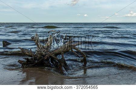 Baltic Beach Coastline Water Washed Dead Tree