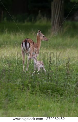 Photo Of A Female Fallow Deer With Her Fawn