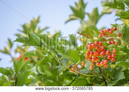 Red Viburnum Berries On Green Branch In The Garden Against Blue Sky In Autumn