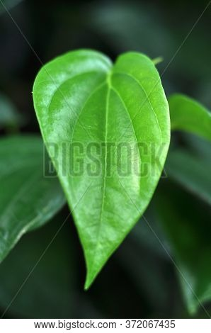 Piper Betle Leaves Are Used In Folk Medicine For The Treatment Of Various Disorders And Is Commonly