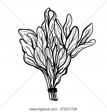 Sage Leaves Isolated On A White Background. Sage Is A Fragrant With A Pronounced Taste. Fragrant . H