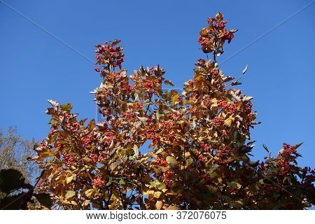 Yellow Leaves And Red Berries On Branches Of Sorbus Aria  Against Blue Sky In October
