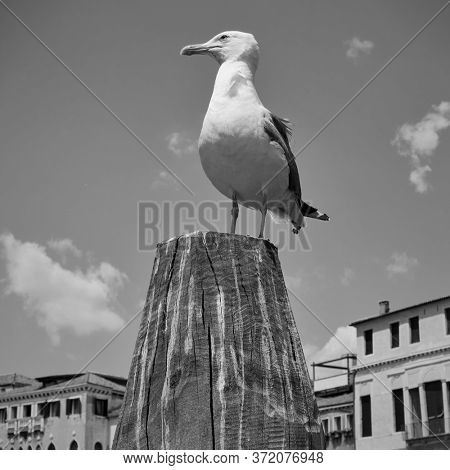 Gull on the top of mooring pole in Venice, Italy.  Black and white  photography