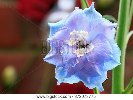 Close Up Of A Purple Or Blue Delphinium (larkspur) Flower In  Full Bloom.  The Flowers Grow On Very