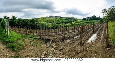 Planting New Grapevines In Vineyardgoriska Brda In Slovenia.