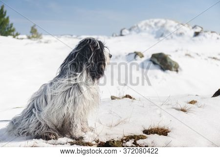 Beautiful Tibetan Terrier Dog Sitting  In A Snowy Clearing In The Forest
