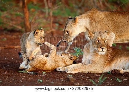 Two Lion Cubs Play With Each Other Under The Watchful Eye Of Two Lionesses In A Game Reserve In Kwa