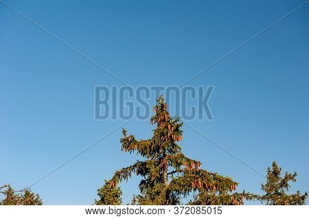 Spruce (picea Abies) Top From Side View With Cone (strobilus, Strobile). Blue Sky On The Background.