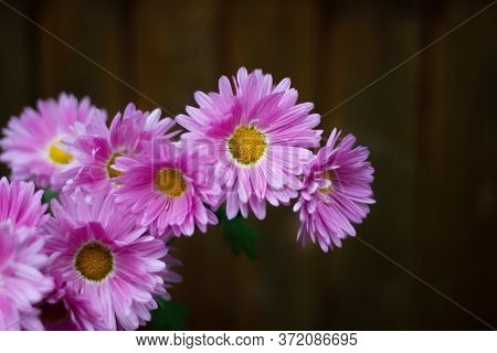 Chrysanthemum Flowers. Pink Flowers With A Yellow Center. Sort Of Carnival. Bouquet Of Chrysanthemum