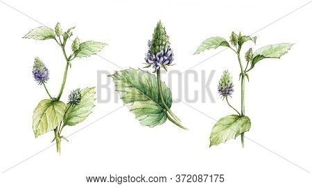 Watercolor Illustration Set Of Psoralea Corylifolia, Flowers And Leaves. Hand Drawn Natural Heathy B