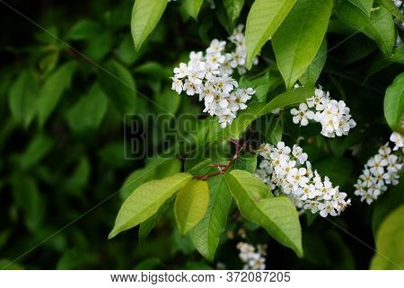 Bird Cherry. Bird-cherry Tree Branch. White Bird-cherry Flowers Close-up. Bird-cherry Blossom. The F