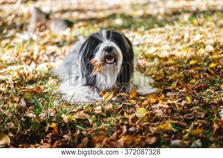 Tibetan Terrier Dog Playing In A Bed Of Leaves And  Looking At The Camera.autumn Season.  Selective