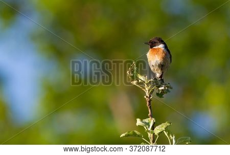 European Stonechat, Saxicola Rubicola. In The Early Morning, A Bird Sits On Top Of A Young Tree.