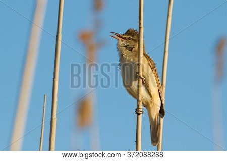 Great Reed Warbler, Acrocephalus Arundinaceus. Riverbank, Early Morning, A Bird Sits On A Stalk Of A