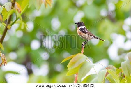 European Stonechat, Saxicola Rubicola. Male Bird Sits On A Branch, Green Background