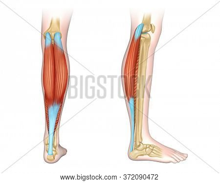Back and side view of human calf muscles. Digital illustration.