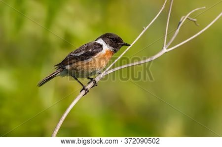 European Stonechat, Saxicola Rubicola. Early In The Morning The Male Bird Sits On The Stem Of The Pl