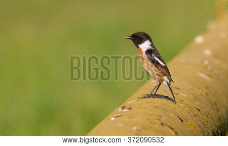 European Stonechat, Saxicola Rubicola. Early Morning A Male Bird Sits On A Gas Pipe.