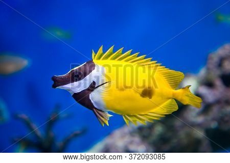 Fish Yellow Fox Lo, Foxface Rabbitfish, With Open Fins Fan On A Blue Background. Marine Life, Exotic