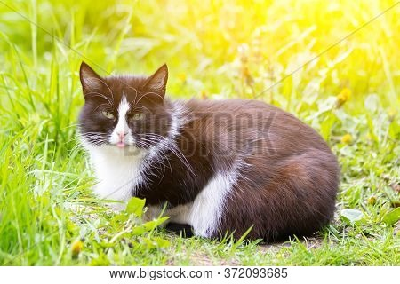 A Colored Cat Is Lying On The Grass. Cat In The Grass. A Street Cat. Beautiful Cat.