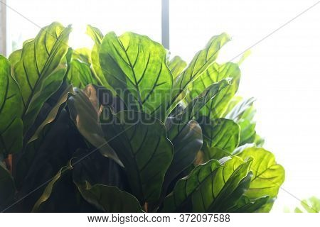 Fiddle Leaf Fig Trees. Artificial Potted Plant In Home.