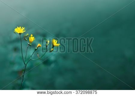 Delicate Yellow Buttercup Wildflowers Isolated On Green Blur Background.