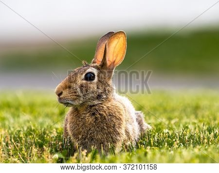An Eye Level Photo Of A Back Yard Bunny Rabbit With Brown Fur Laying In The Grass With Its Ears Up A