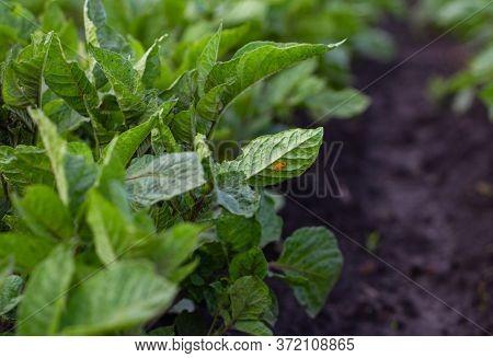 View Of The Yellow Eggs Of A Colorado Potato Beetle On A Potato Bush On A Potato Plantation. Agricul